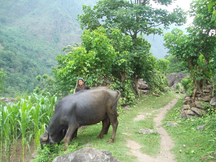 Nepal yak