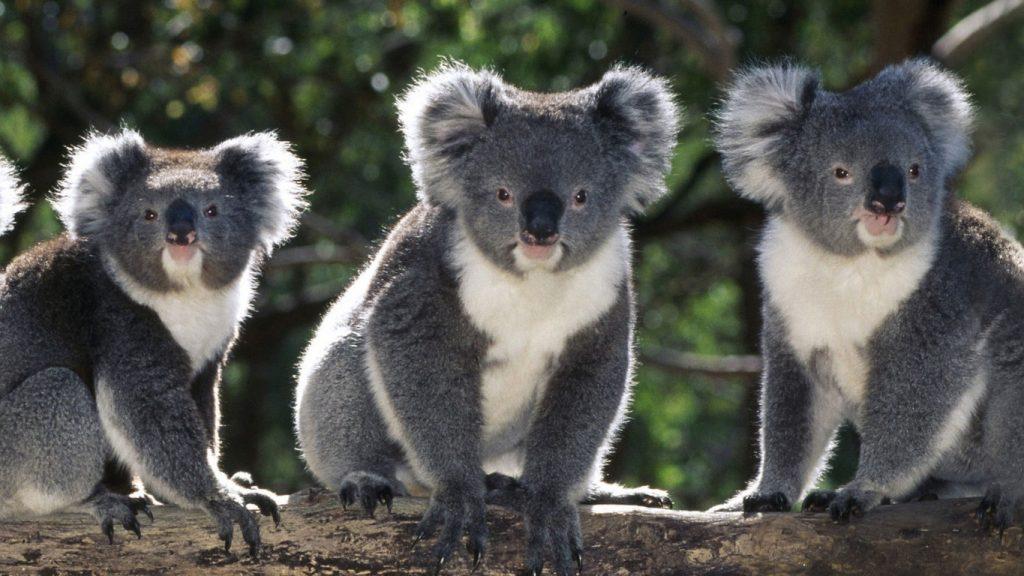 Australian-animals-3